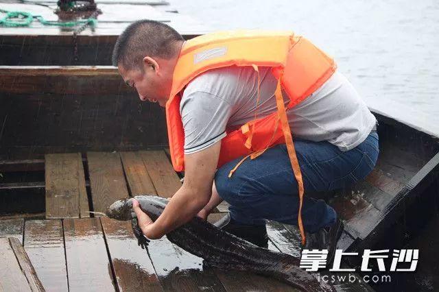 在运送娃娃鱼进入湖区时它挣脱工作人员的双手调皮地四处乱爬