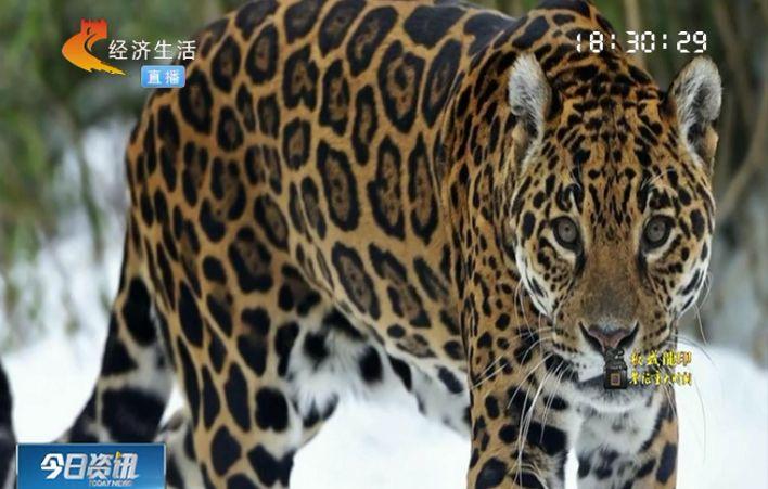 远东豹也是北方寒带地区体型仅次于东北虎的大型猫科动物,头小尾长